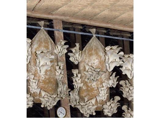 Вешенка. выращивание грибов вешенка в домашних условиях в мешках